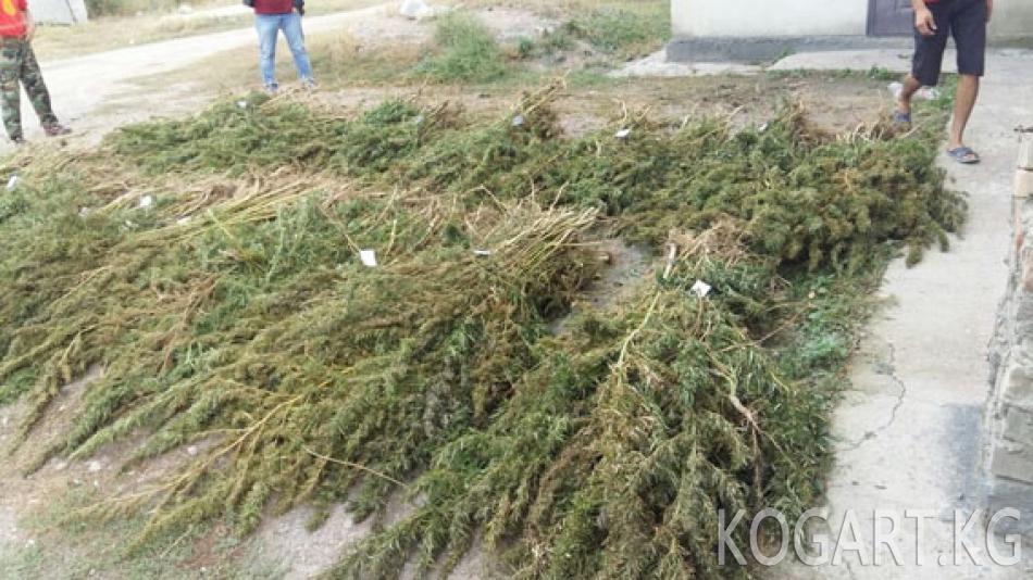 Тогуз-Торо районуна баңги затын өстүргөн сузактык жаран кармалды