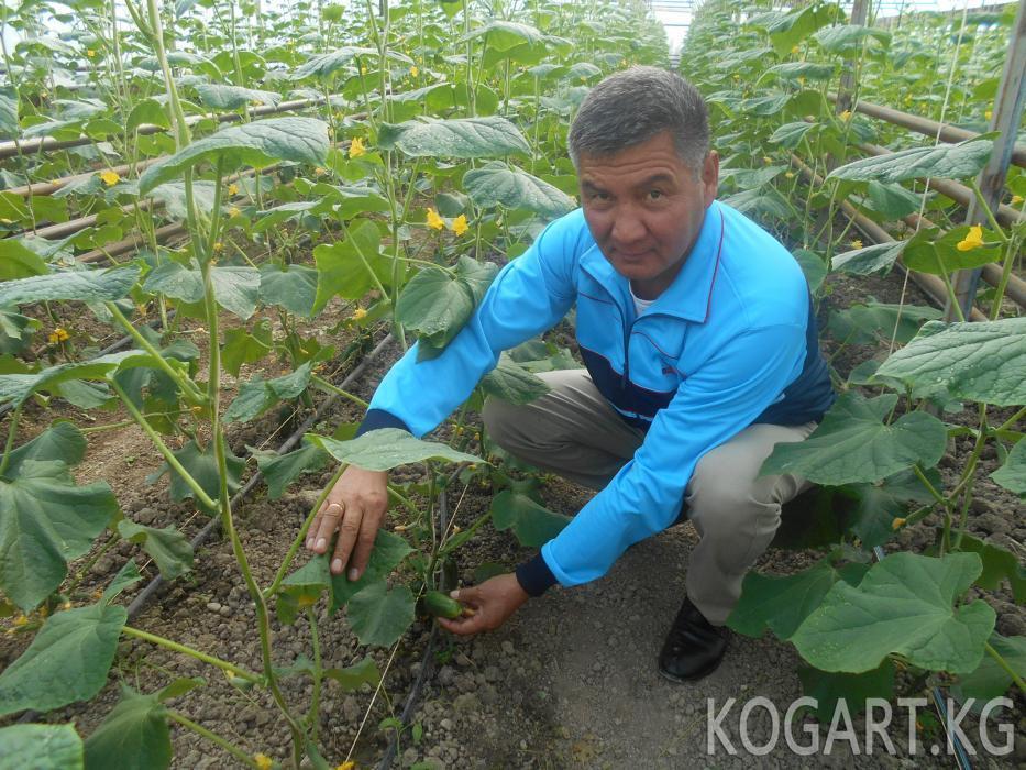 Жалал-Абад облусунда күнөсканаларда өстүрүлгөн жашылчалар Россияга...