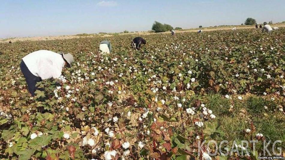 Өзбекстан: пахта талаасында дагы бир киши каза болду