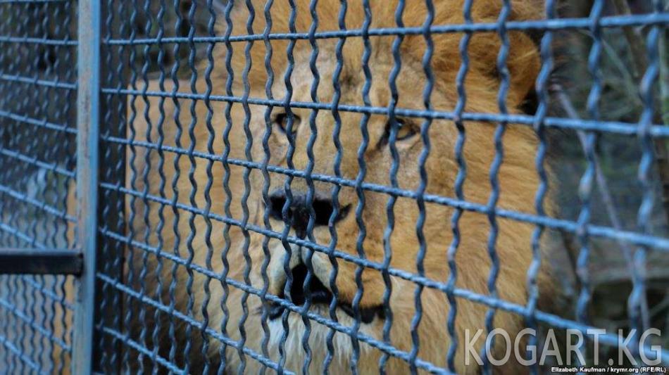 Анжиянда арстан зоопарк кызматкерин талап салды