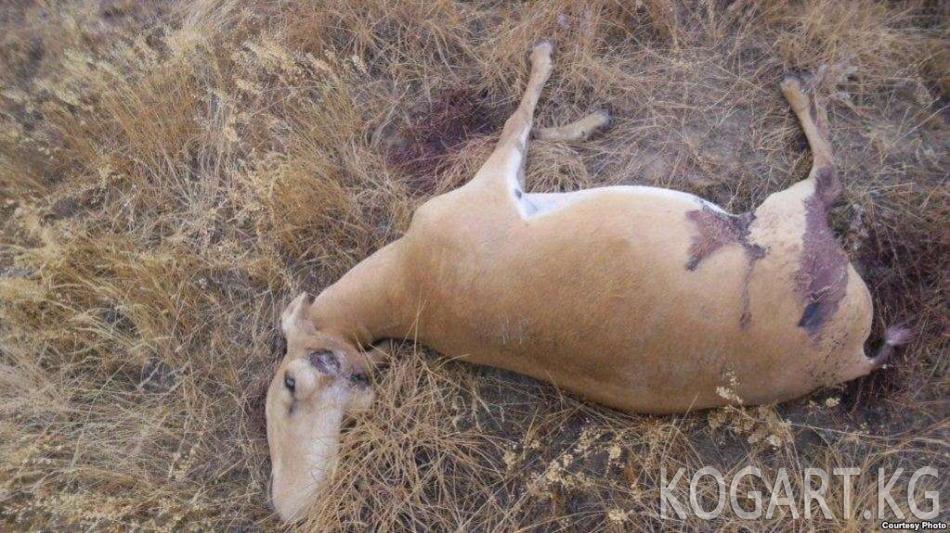 Казакстанда браконьерлердин кол салуусунан экоинспектор каза болду