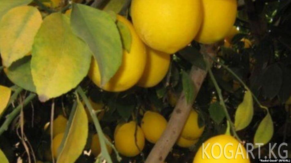 Тажикстанда лимондун баасы арзандап, дыйкандар чыгаша тартууда