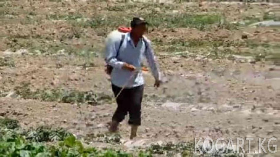 Өзбекстан менен Тажикстан чегирткеге каршы бирге күрөшүүдө